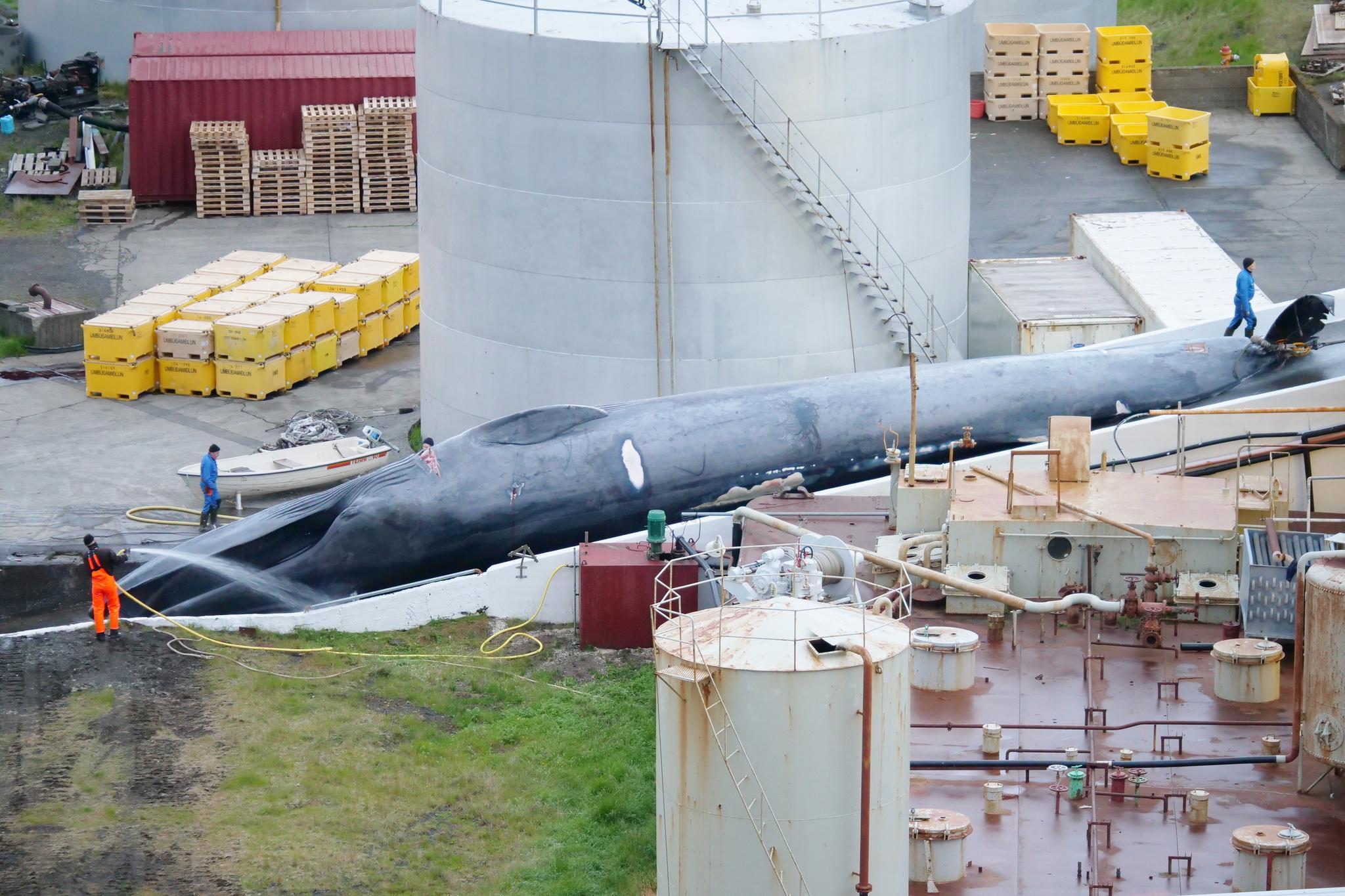 Island: Wurde ein streng geschützter Blauwal geschlachtet? | STERN.de