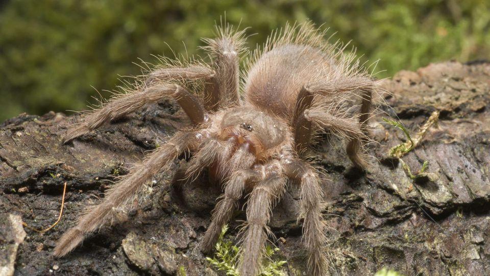 Eine Spinne von vermutlich derselben Art, wie die Taranteln in Derbyshire