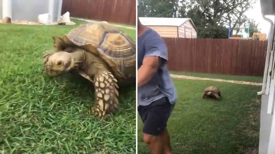 """""""Backyard Beute"""": Erstaunlich schnell: Schildkröte jagt Rasenmäher"""