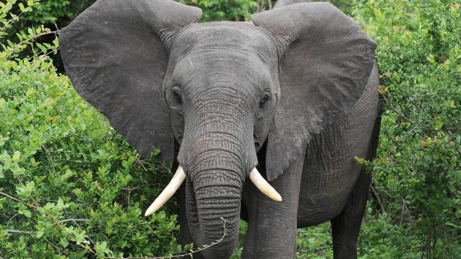 Ein Afrikanischer Elefant steht im Krüger Nationalpark