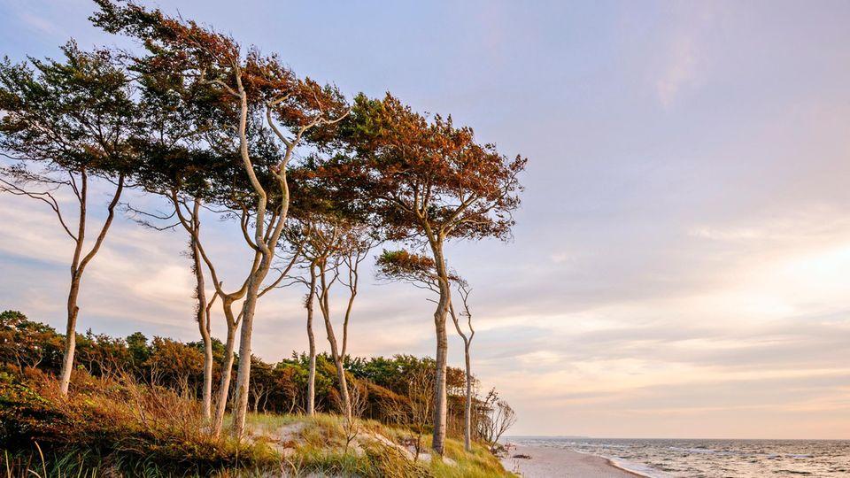Die Bäume am Darßer Weststrand sind tapfere Gesellen. Ihre Kronen sind zwar von Böen gekrümmt, ihre Wurzeln aber stecken tief und fest im Ostseesand