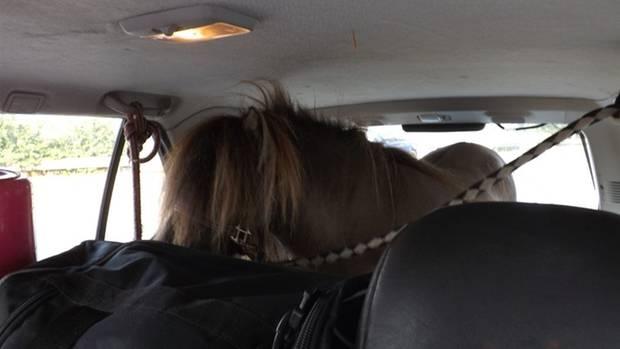 Nachrichten aus Deutschland: Ein ungewöhnlicher Anblick für die Polizisten in Münster: ein Pony im Kofferraum