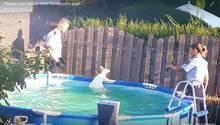 Ein Känguru steht am Beckenrand eines Pools im Wasser, die Polizei daneben