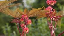 Wunderbaum Rizin