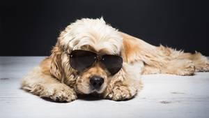 """Hund mit Sonnenbrille liegt herum. Symbolfoto zur Bebilderung der """"Hund frisst Reisepass""""-geschichte"""