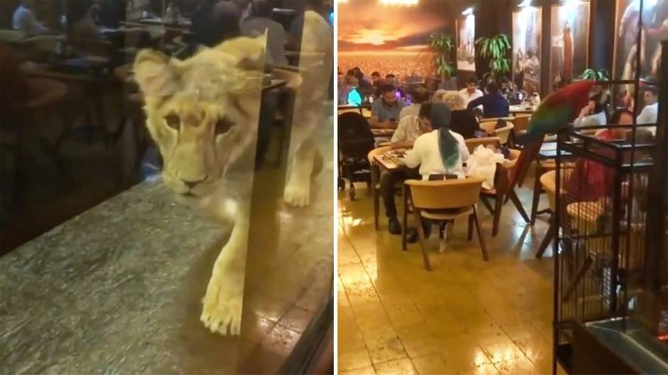 Istanbul: Bar-Besitzer hält Löwen im Schaufenster - das hat nun Konsequenzen