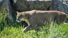 Ein Puma in den USA