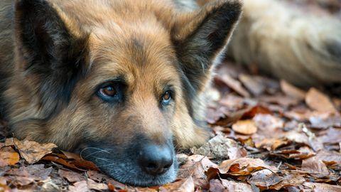 Deutsche Schäferhunde (Symbolbild) können sehr gute Drogenspürhunde sein. Sombra gilt in Kolumbien als die beste Spürnase der Polizei.