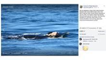 Orca-Mütter haben eine besonderes enge Beziehung zu ihrem Nachwuchs