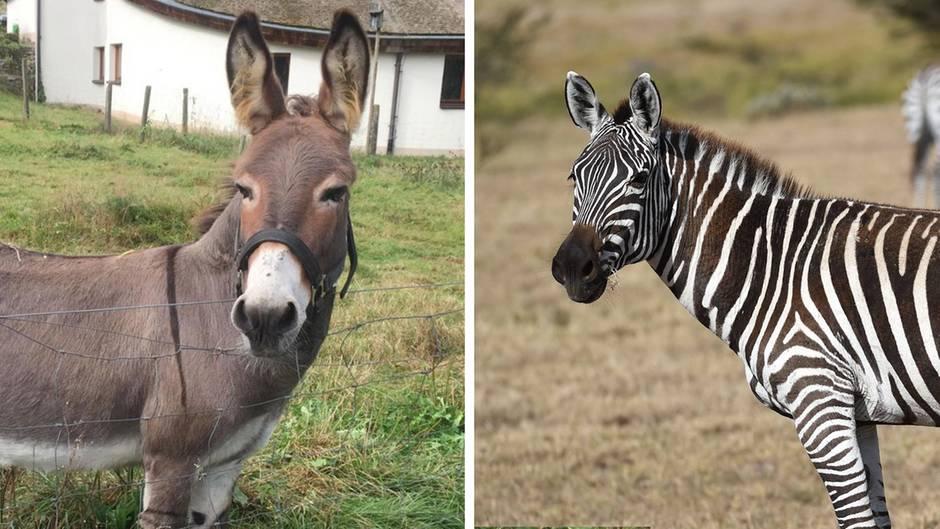 Ägypten: Ist dieses Zebra eigentlich ein angemalter Esel?