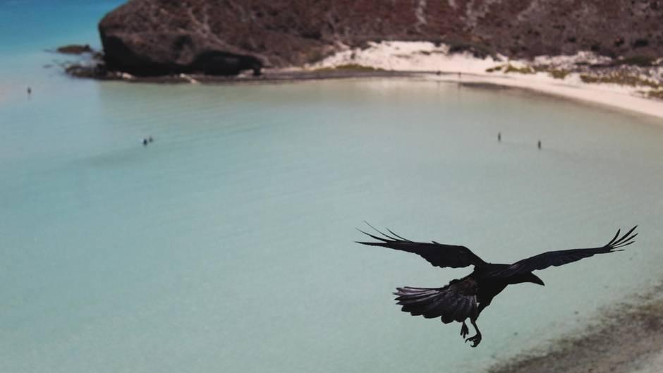 Eine Krähe fliegt über einen Strand