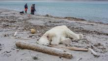 """Aus Notwehr erschossen: Der getötete Eisbär auf Spitzbergen, der zuvor ein Crew-Mitglied des Kreuzfahrtschiffes """"MS Bremen"""" angegriffen und am Kopf verletzt hatte."""