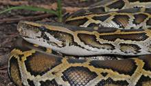 Eine Königspython hat sich in London ins Bett einer schlafenden Frau verirrt. (Das Symbolbild zeigt eine burmesische Python).