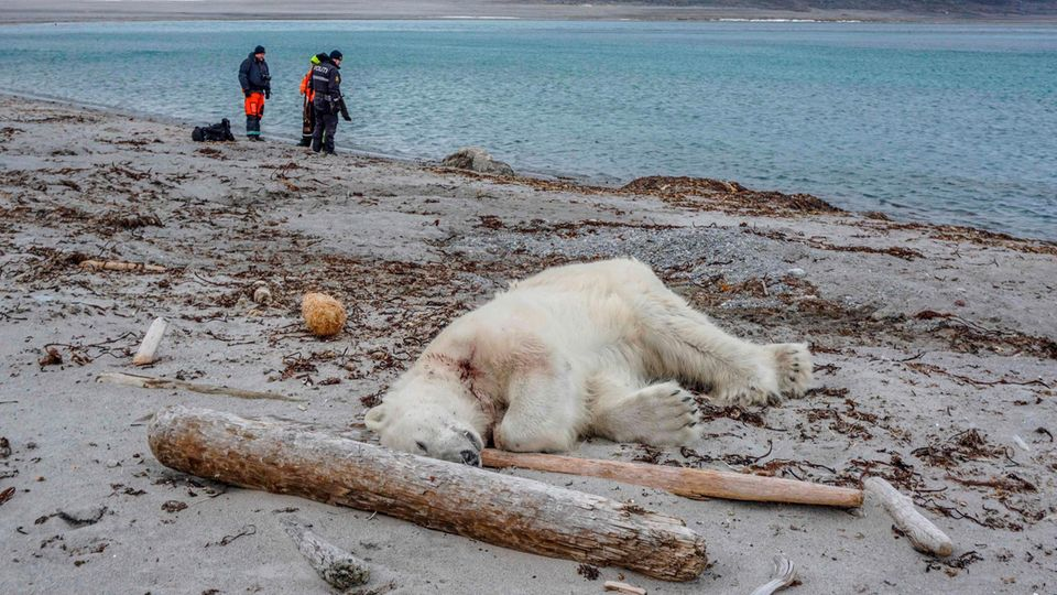 Ein Eisbär liegt mit einem Blutfleck am Hals tot an einem Sandstrand