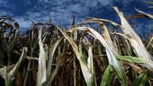 Pommes, Milch, Getreide: Welche Produkte durch den Super-Sommer teurer werden könnten