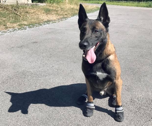 """Ein Polizeihund trägt """"Schuhe"""" zum Hitze-Schutz"""