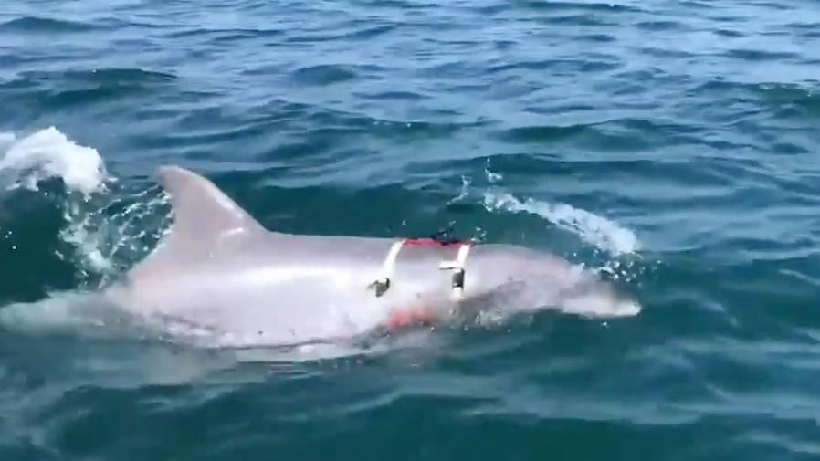 Sprengkörper aufspüren: US-Marine setzt Delfine zur Minenjagd ein