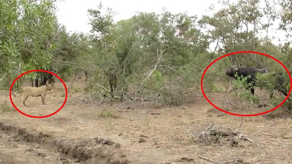 Jäger wird zum Gejagten: Löwin legt sich mit Büffelherde an - und lernt blutige Lektion