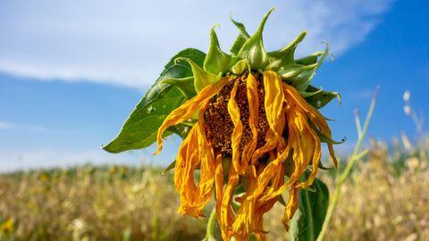 Hitzewelle pur. Diese Sonnenblume hat die andauernde Dürre nicht überlebt.
