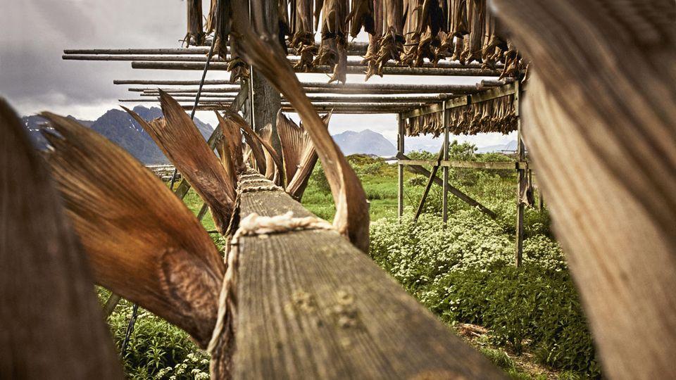 Am Ortsrand von Laukvik hängt an Holzgerüsten Stockfisch zum Trocknen