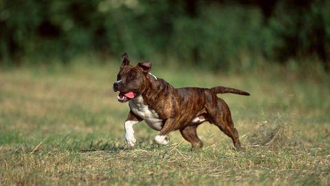 Pitbull rennt