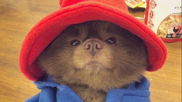 Dieser Hund sieht aus wie Paddington Bear