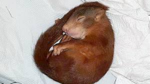 Eichhörnchen Karl-Friedrich schläft eingewickelt in ein Handtuch
