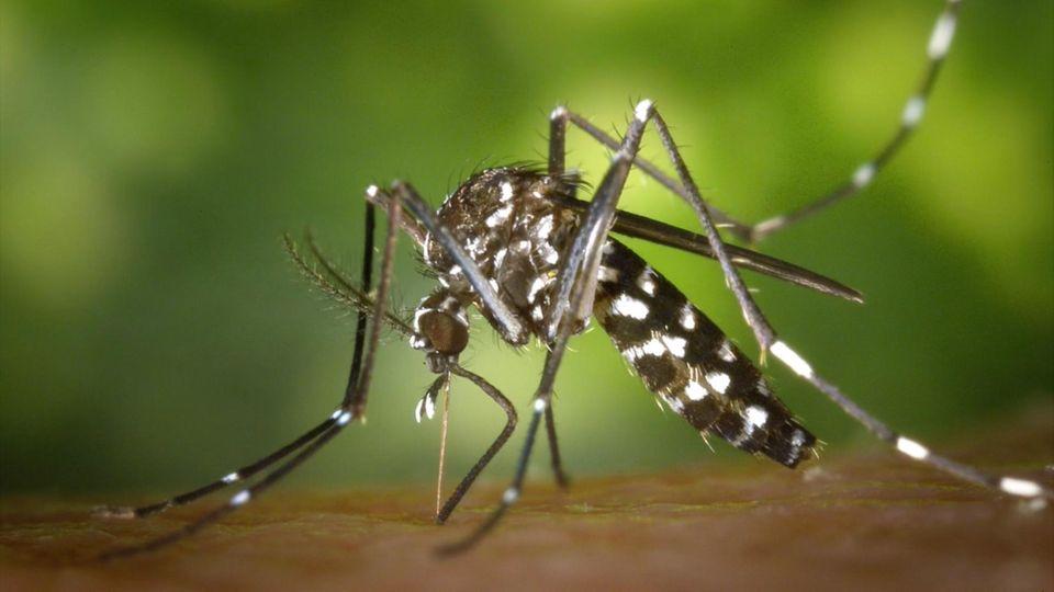 Tropische Erreger: Zika erstmals durch Mücken in Europa übertragen – wie groß ist die Gefahr in Deutschland?