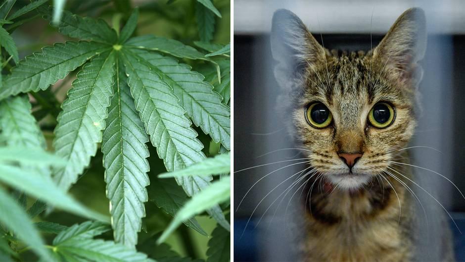 """US-Gesetzesentwurf: Cannabis für Tiere: Was sagen Experten zum """"Katzengras""""?"""