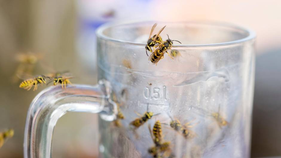 Wespen krabbeln an einem benutzten Bierglas