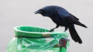 Krähen sammeln Müll