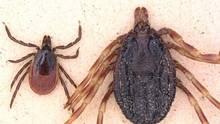 Der Gemeine Holzbock (links) und die Tropenzecke der Gattung Hyalomma (rechts) im Größenvergleich