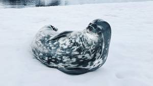 Eine Robbe im Schnee