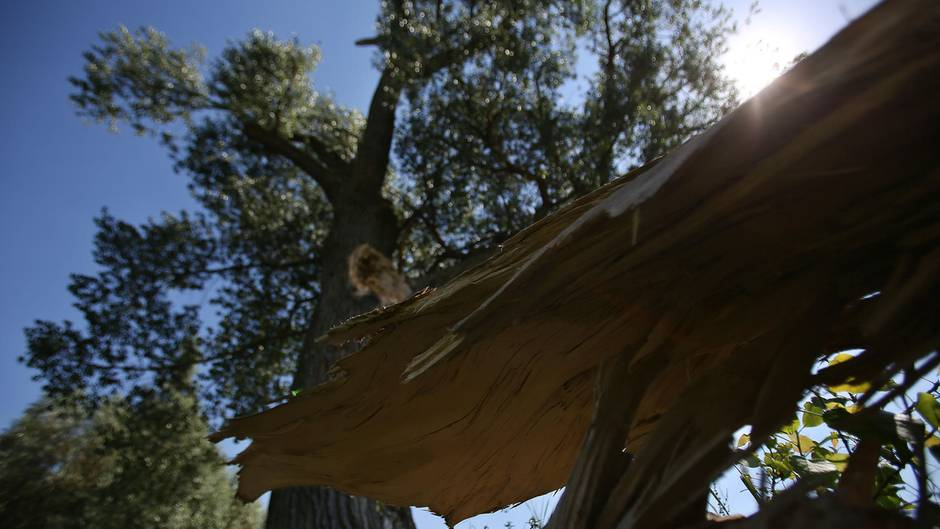 Der abgefallene Ast einer Pappel liegt vor dem Baum