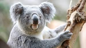 Ein Koala