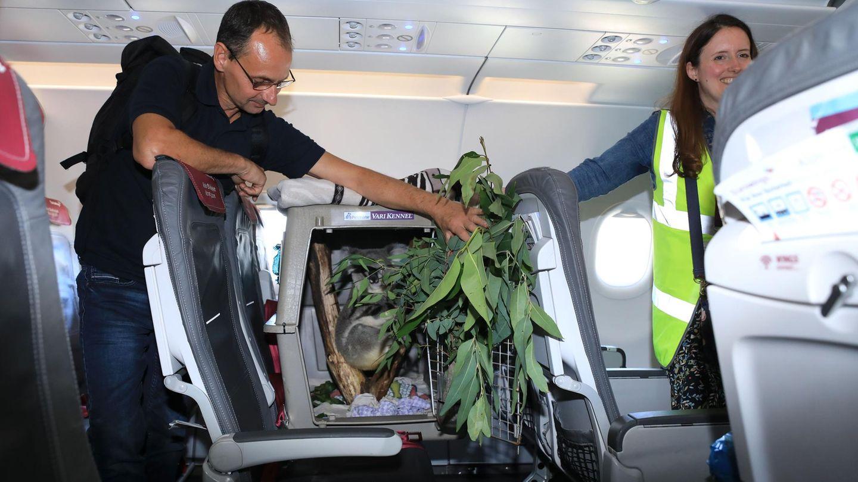 Willkommen an Bord: Der 19 Monate alte Koala aus dem Zoo Duisburg, der in einem Airbus von Eurowings nach Edinburgh fliegen soll.