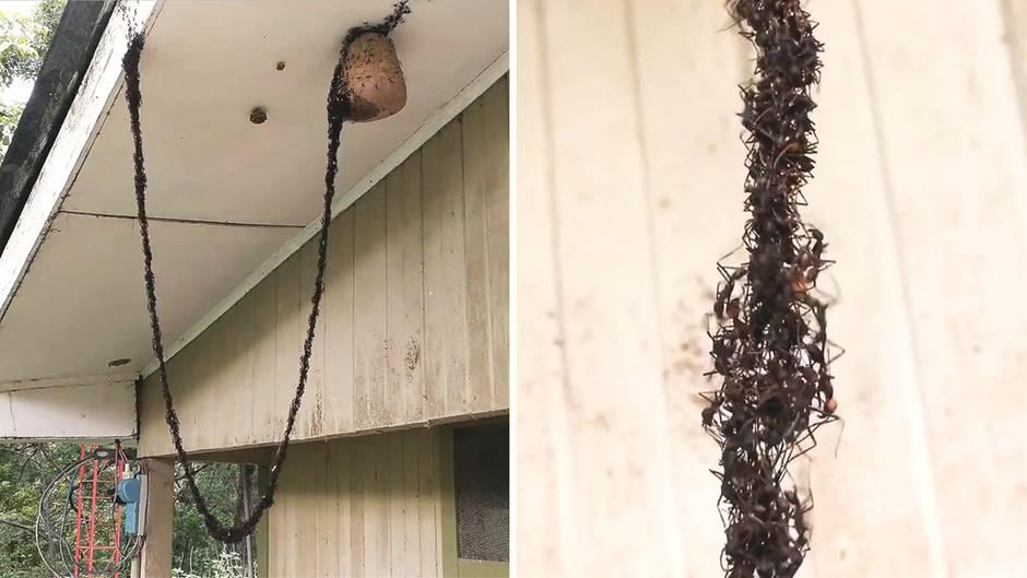 Ameisen plündern Wespennest - mit lebender Hängebrücke