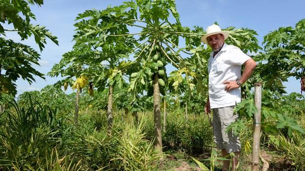 Ghana, Gbefi: Der Schwabe Helmut Lutz steht auf seiner Farm in, auf der er Papayas für den Export nach Deutschland anbaut.