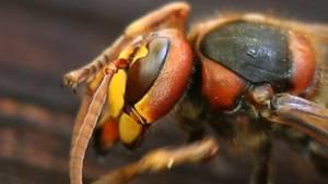Hornissenangriff auf Rentnergruppe: Acht Verletzte bei Schnakenbek