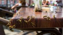 Wespen werden durch süßes Essen angezogen.