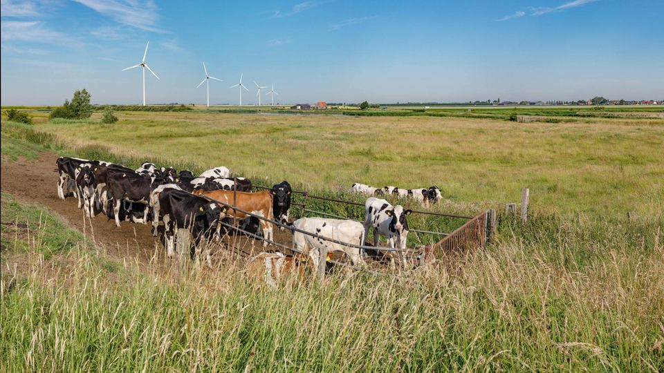 Kühe auf einer Weide in der Provinz Zeeland (Niederlande)