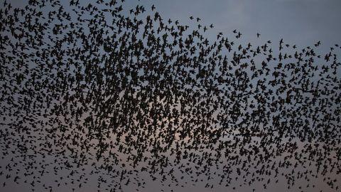 Ein Vogelschwarm wurde einem schwedischen Kampfflugzeug zum Verhängnis