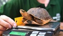 Jedes Jahr vermessen und wiegen die Mitarbeiter des Whipsnade Zoo in Großbritannien die Tiere. Die kleine McCords Scharnierschildkröte scheint die Prozedur ohne viel Aufstand über sich ergehen zu lassen. In freier Wildbahn ist die Gattung extrem gefährdet, und kommt in freier Wildbahn nur in der chinesischen Provinz Guangxi vor.