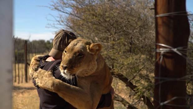 Umarmung von einer ausgewachsenen, 200 Kilogramm schweren Löwin: Was bizarr wirkt ist für Valentin Grüner (noch) ganz normal.