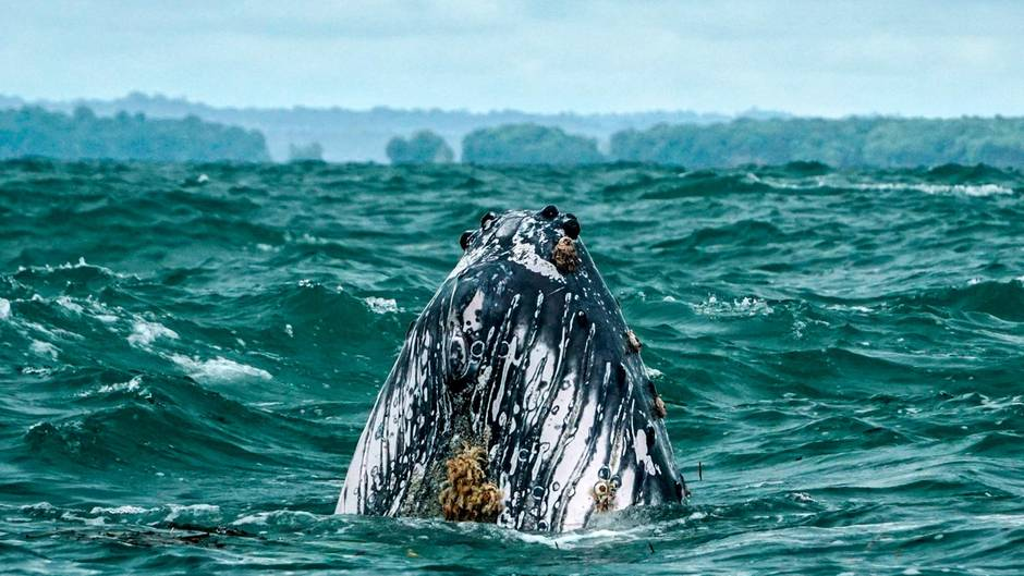 Argentinien: Buckelwal verfängt sich in Fischernetz - Tierschützer befreien ihn