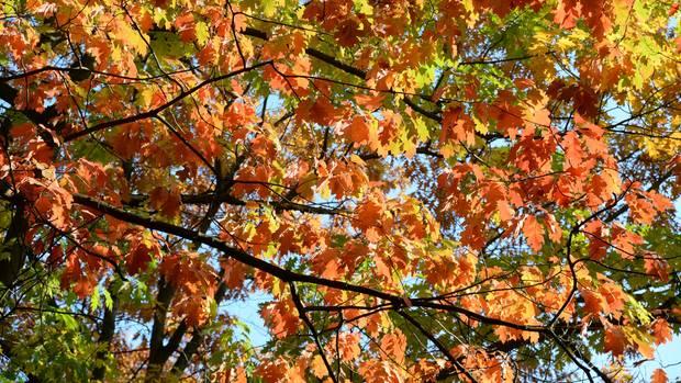 Wetterumschwung: Braune Blätter