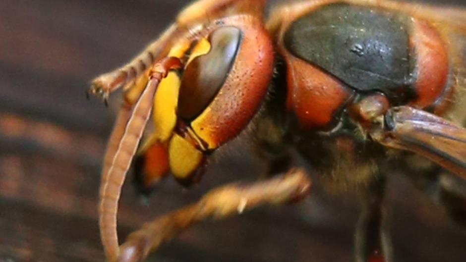 Unterschätztes Insekt: Hornissen sind die perfekte Waffe gegen Wespen - und viel harmloser als ihr Ruf