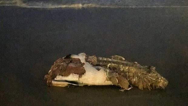Der Kadaver eines Wals liegt am Strand von Bondi, dem Bondi Beach.
