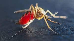 West-Nil-Fieber: Eine mit Blut vollgesaugte Mücke