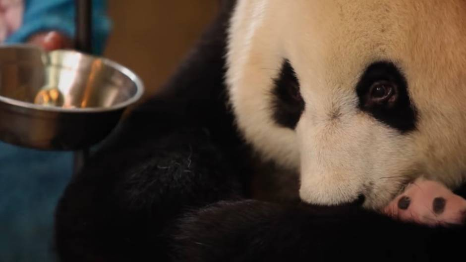 Nach der Geburt: Zoowärter nehmen Panda-Mutter abwechselnd einen Zwilling weg - aus gutem Grund